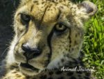 Cheetah Journal for Young Children to Draw In