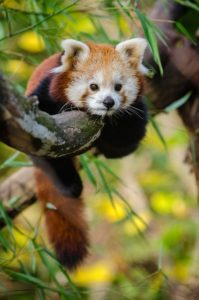 Red Panda Hugs Tree
